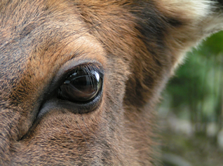 Eye of a wapiti